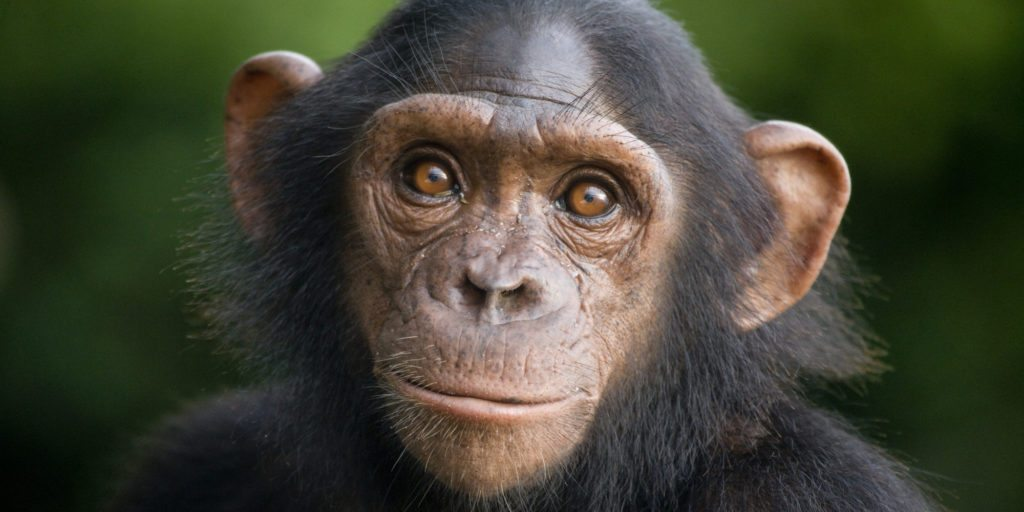 chimpanzee-main