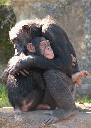 chimps-endanger
