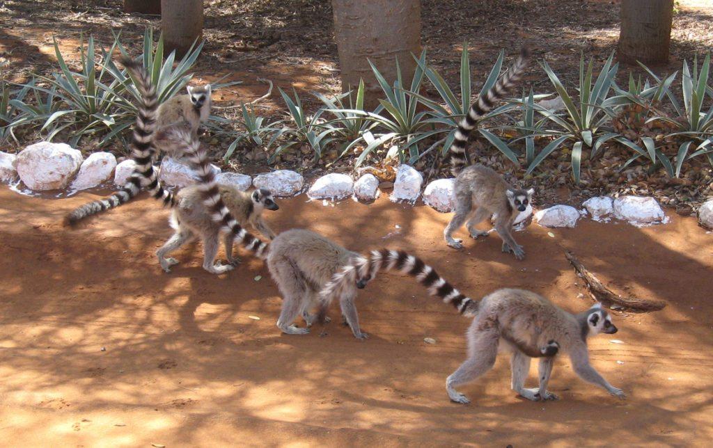 lemurs-on-ground