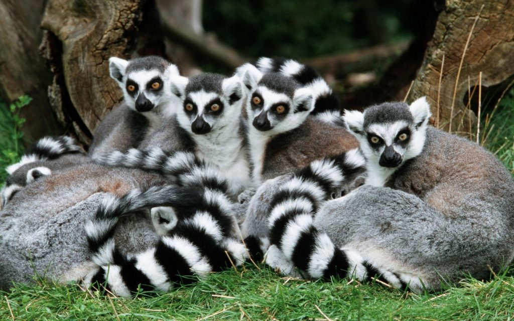 ring-tailed-lemur-featured