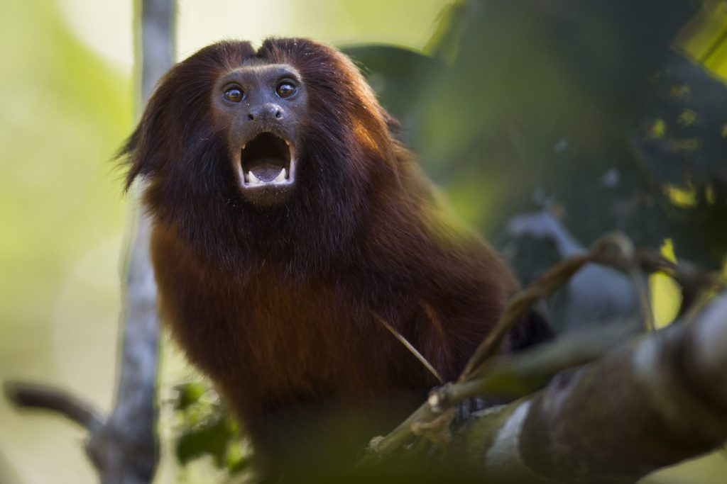 Brazil-Golden-Monkey