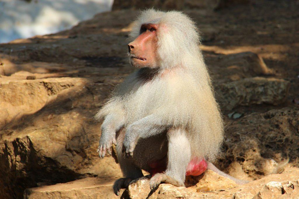 Hamadryas-baboon