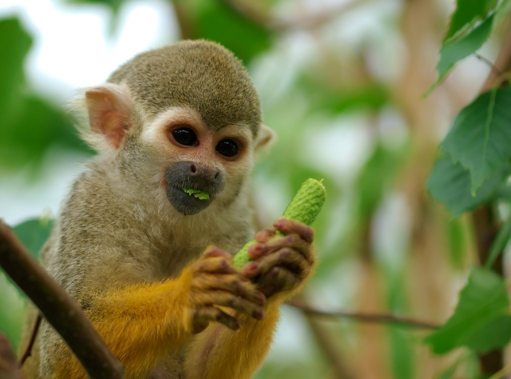 Squirrel-Monkey-Eating