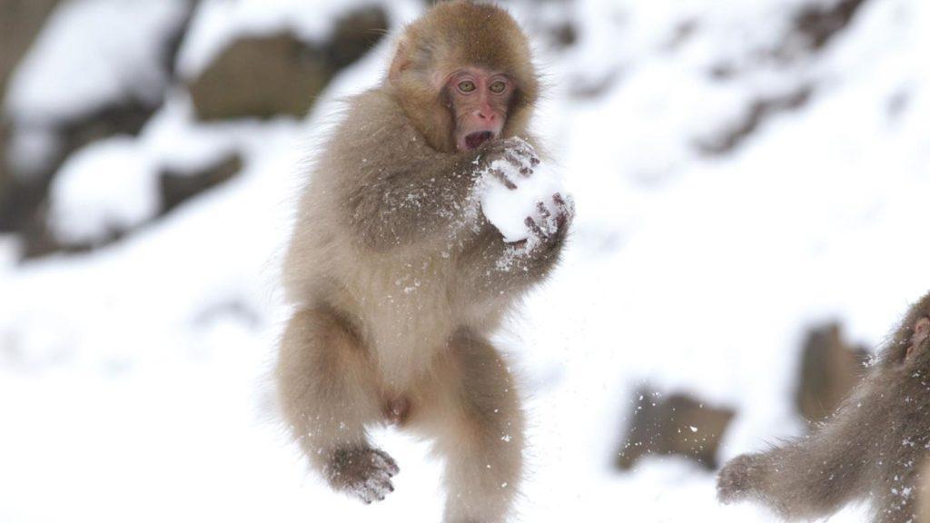baby-japanese-macaques-make-snowballs