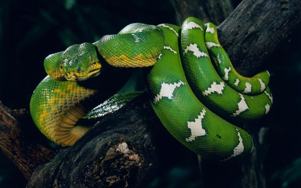 green-anaconda-snake