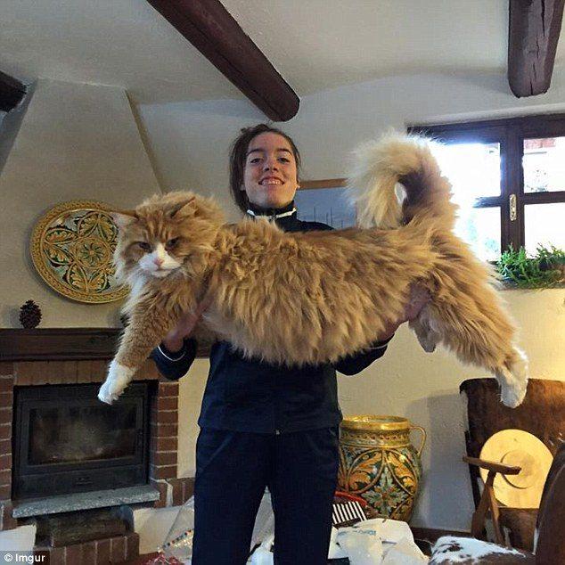 maine-coon-big-cat