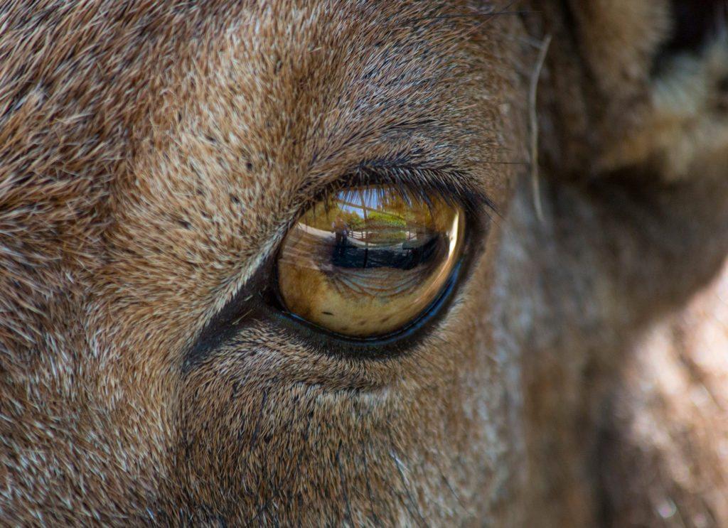 sheep-pupil
