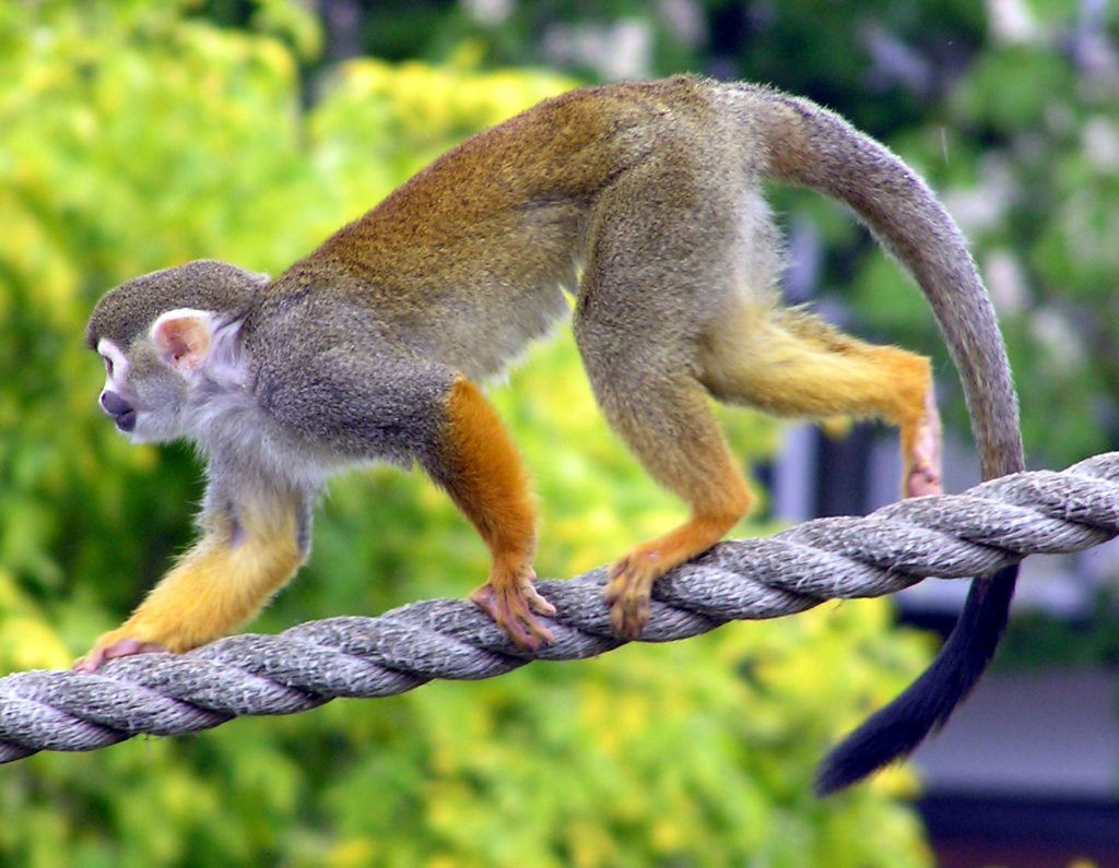 The common squirrel monkey is captured for the pet trade and for medical research but it is not threatened.