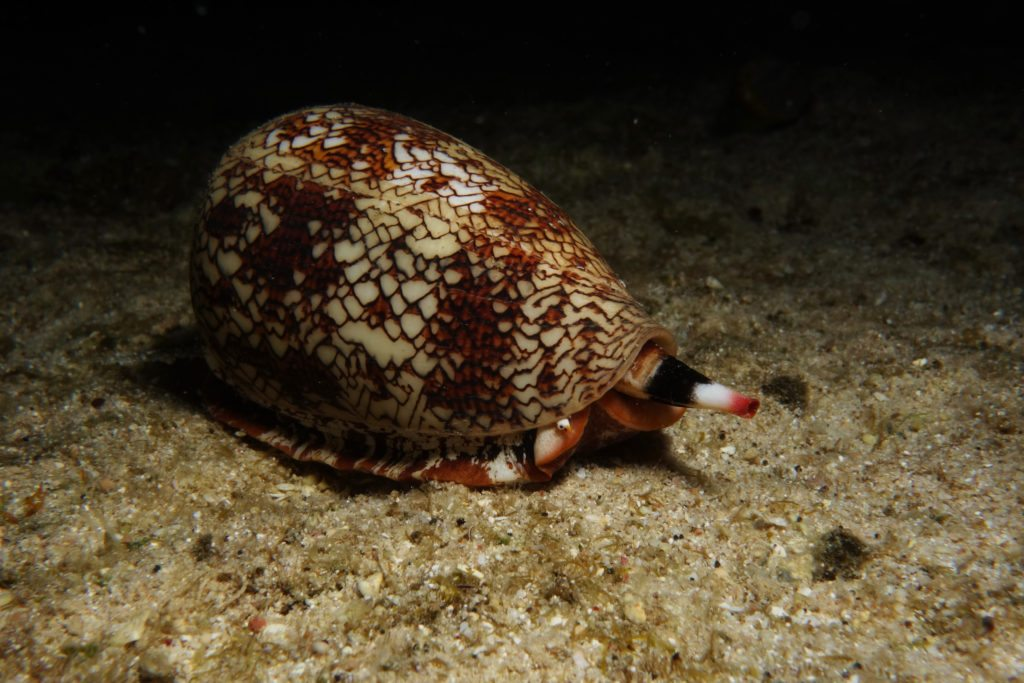 cone-snails-2