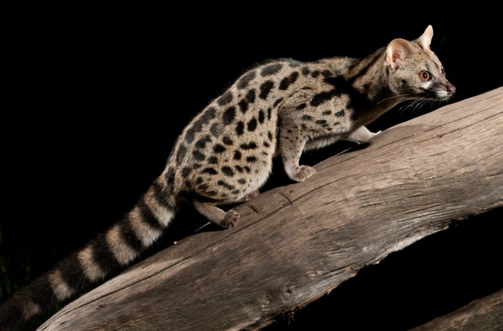 The genet's retractable claws make it a superb climber.