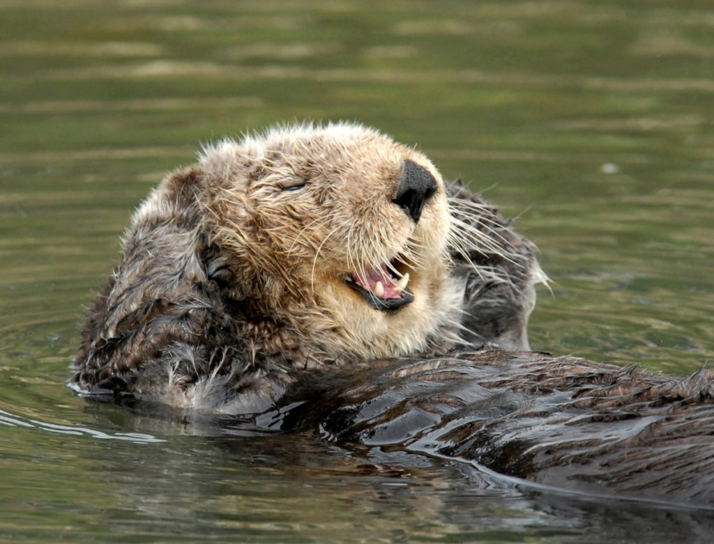 Sea otters feed at the surface therefore making them easy to study.
