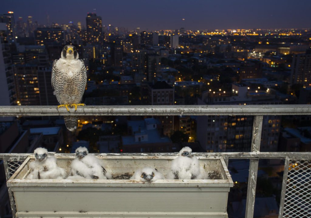 A night-time photograph of the female and her brood. Helped by the city glow, urban peregrines are known to hunt after dark.