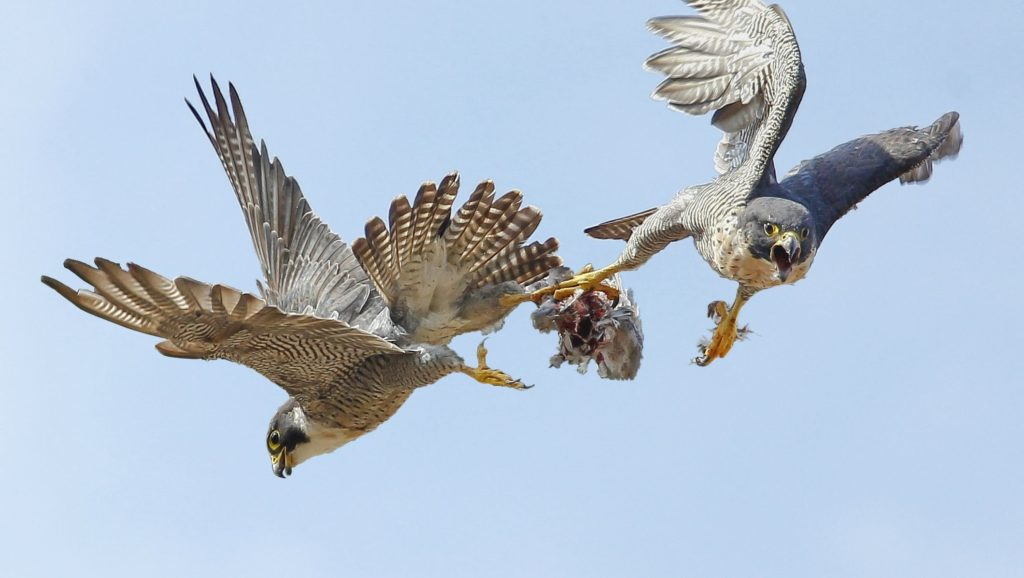 The pair perform a food pass of a pigeon. Peregrines are expert fliers and incredibly fast, exceeding 350kph in controlled vertical dives when swooping on prey.
