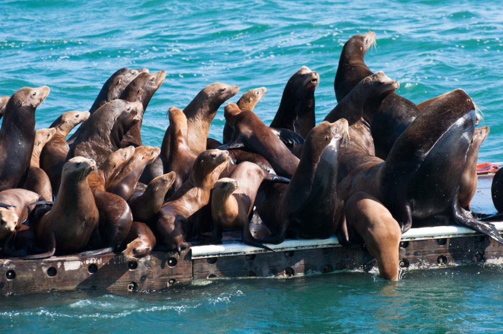 sea-lions-at-moss-landing