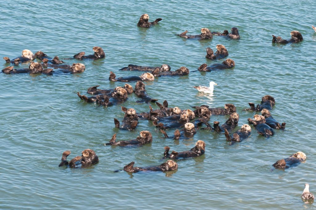 A raft of sea otters laze in front of the power station at Moss Landing, California – one of the best places to see them