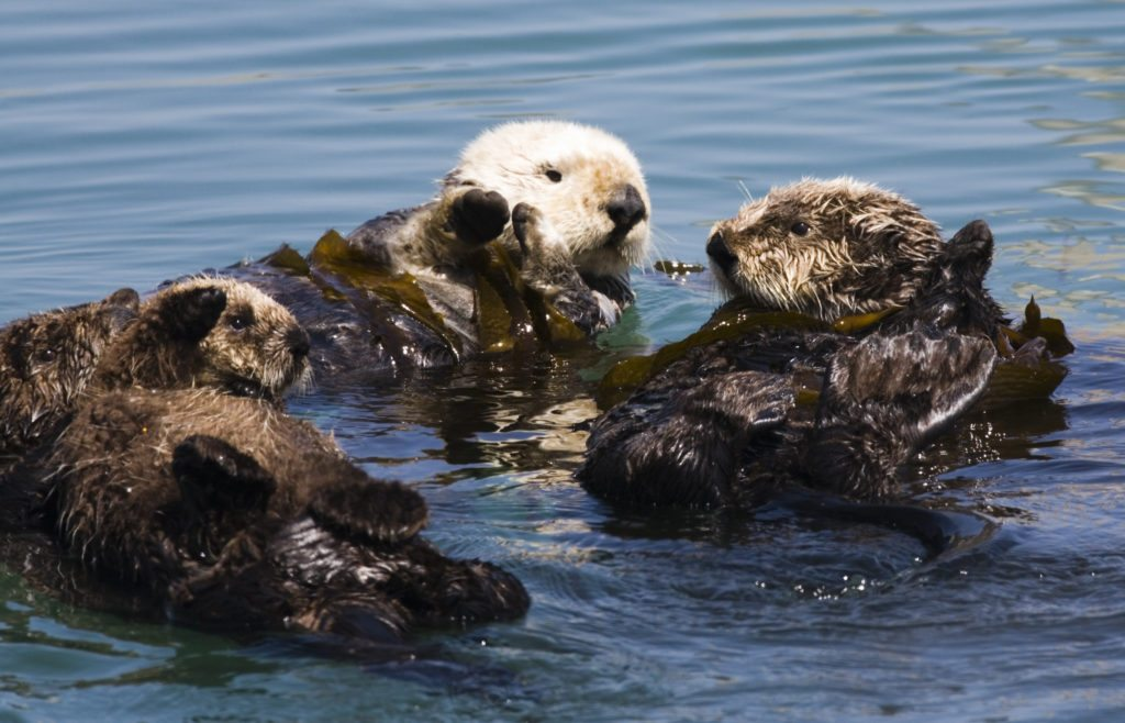Unlike most other otter species, sea otters sometimes form groups. The largest recorded contained up to 2,000 individuals, an amazing sight, though a few dozen animals is more typical.