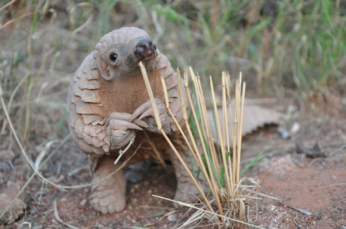 1-pangolines-the-cutest-creature-you-didnt-know-of