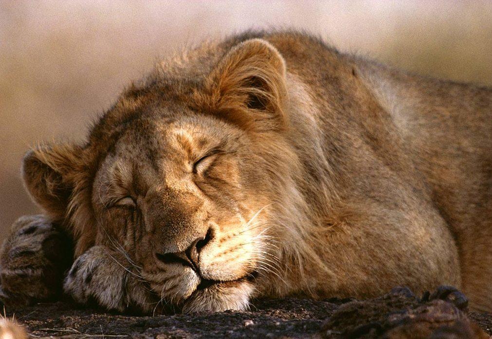 sleeping-male-lion