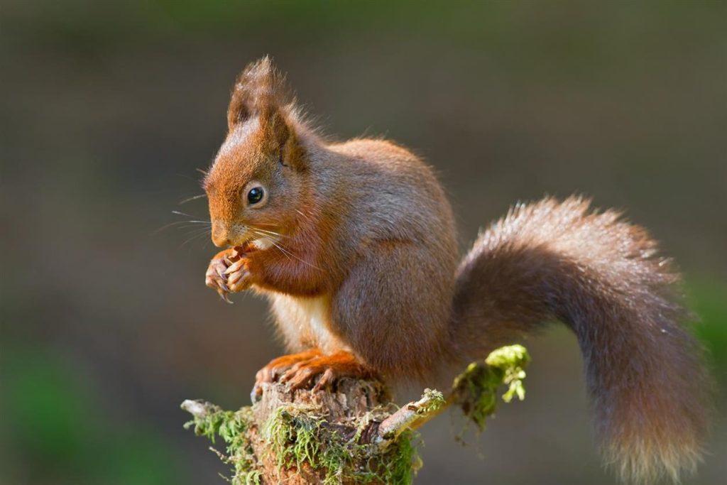 Eurasian-Red-Squirrel