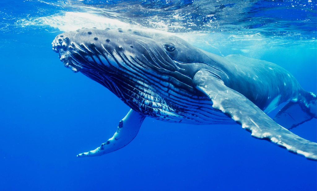 Humpback whales' pectoral fins were found to be 40 per cent more dynamic than a smooth fin, allowing water to zoom past