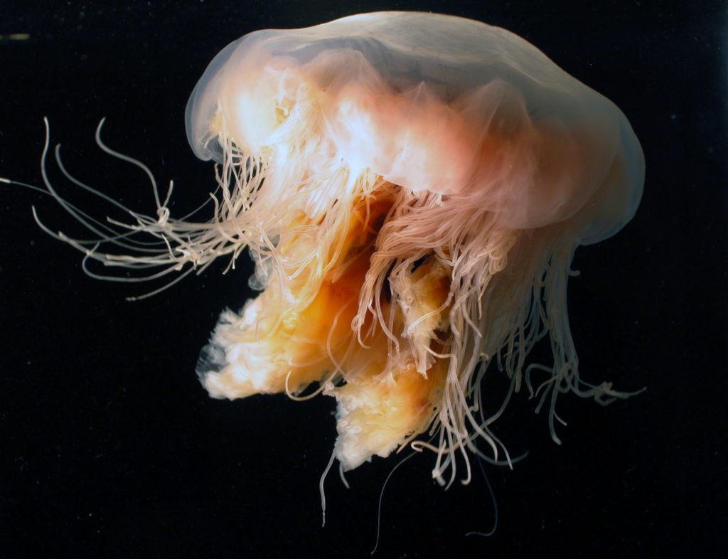 Lion's mane jellyfish come in a range of colours, including red, purple and orange