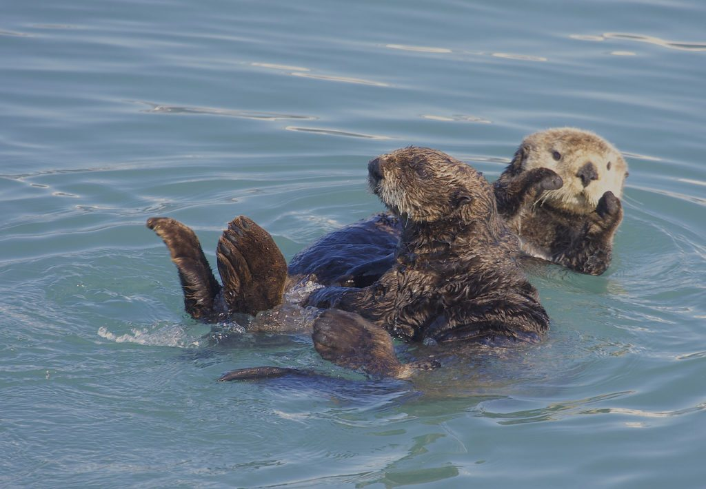 Northern-Sea-Otter
