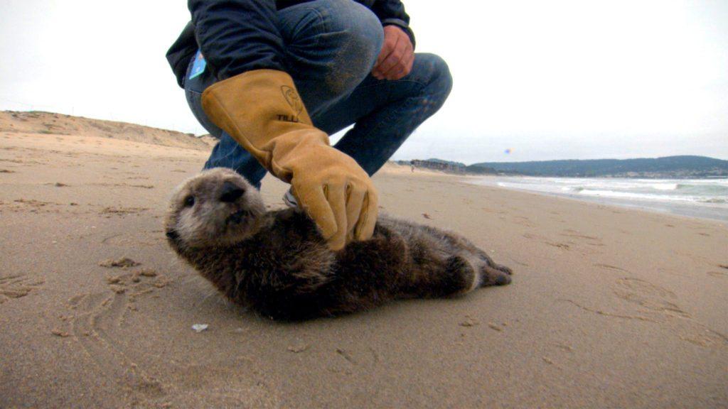 Saving-Otter