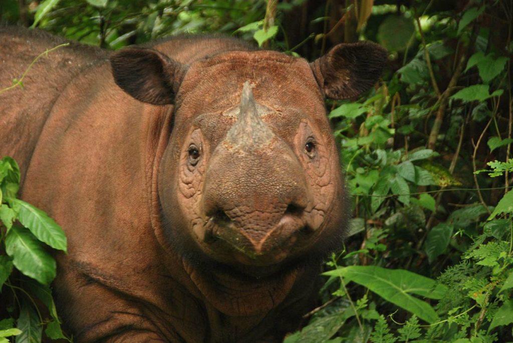 The Sumatran rhino