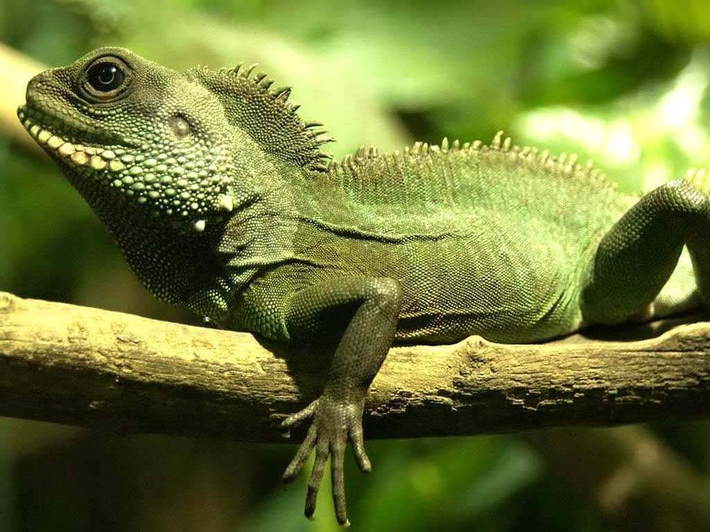 baby-green-iguana-wallpaper-3
