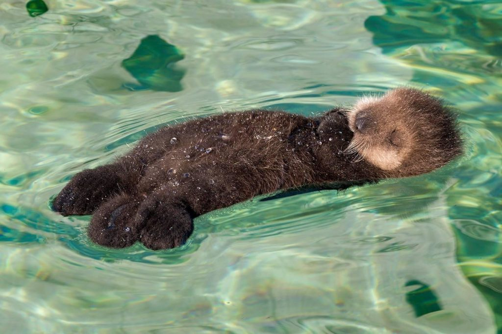Sea otters rarely venture further than about 1 km (0.6mi) from the coastline
