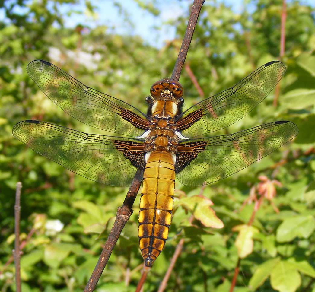 Dragonflies are considered a delicacy in parts of Asia, and can be eaten fried or grilled on a barbecue