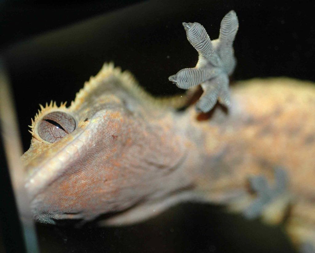 Geckos' feet stick to surfaces when needed, but peel away at will