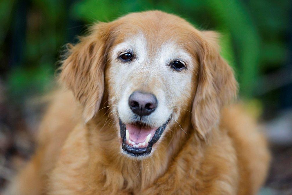 old-dog-smiling