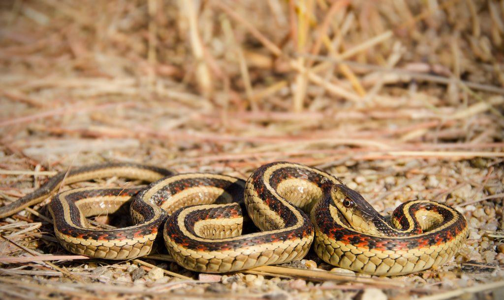red-sided-garter-snake