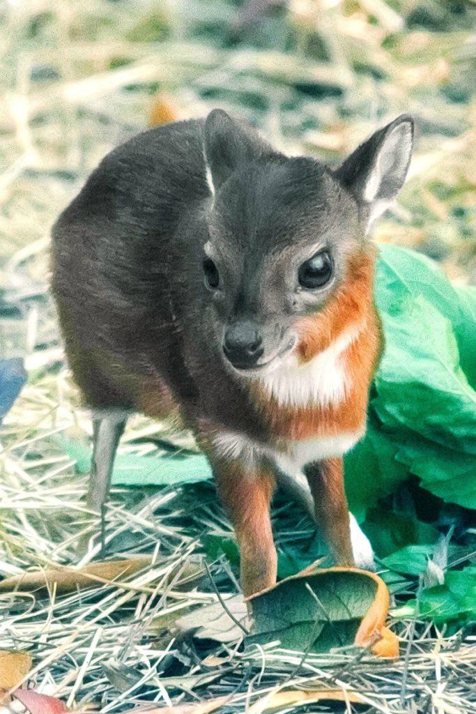 royal-antelope