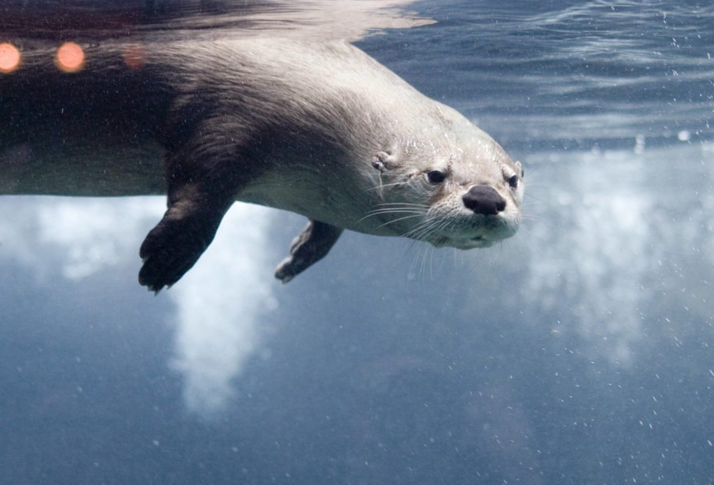 Otters are expert divers with a large lung capacity for their small size, allowing them to forage underwater for up to five minutes per dive