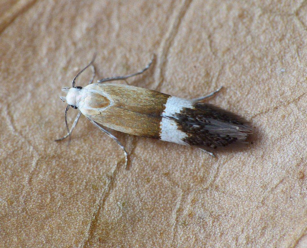 Syncopacma polychromella