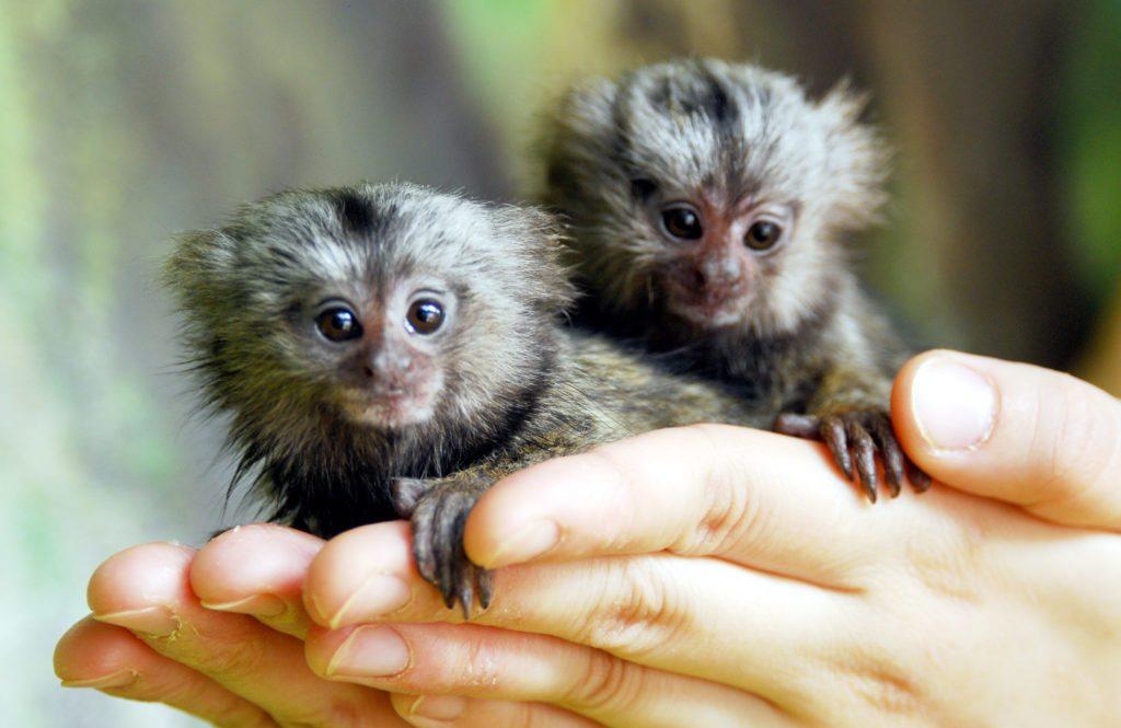 tiny-monkey