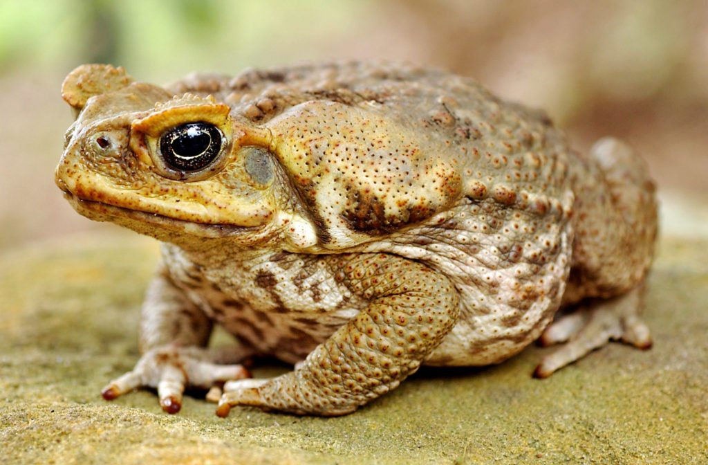 Roads are a major threat to migrating toads, which start moving after dusk when the evening rush hour is at its peak.