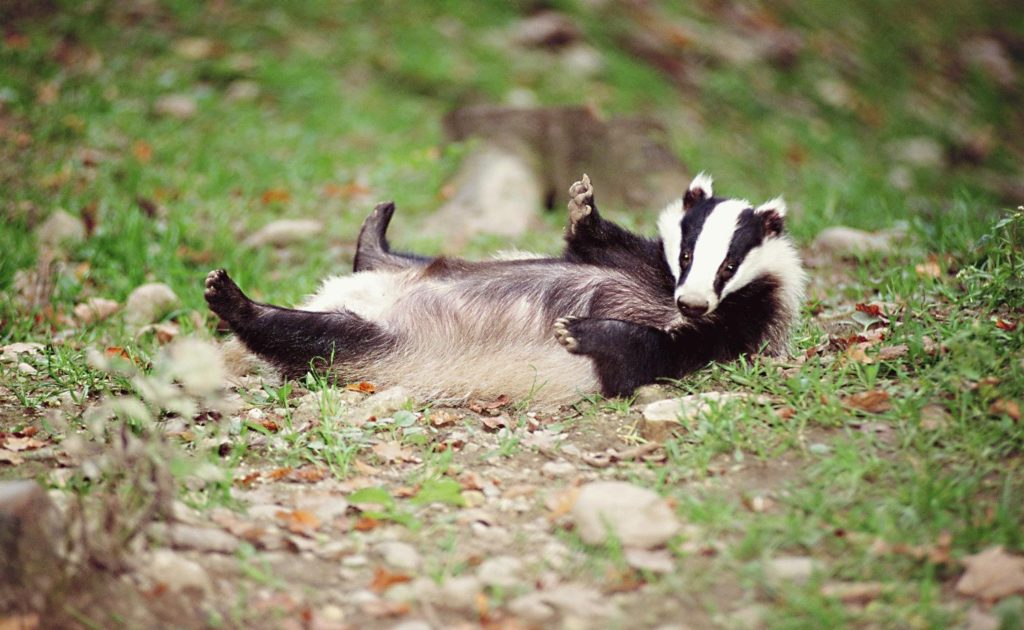 The new network will support badgers across Europe