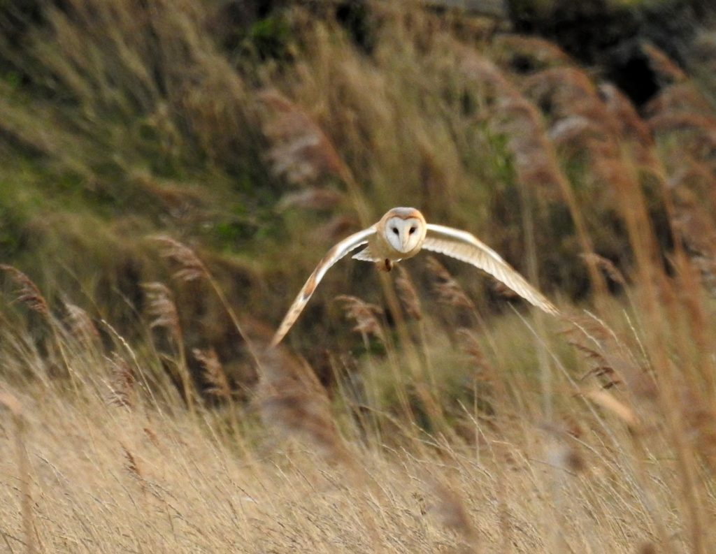 The best of both worlds: a barn owl hunts over grazing marsh in Cley, north Norfolk