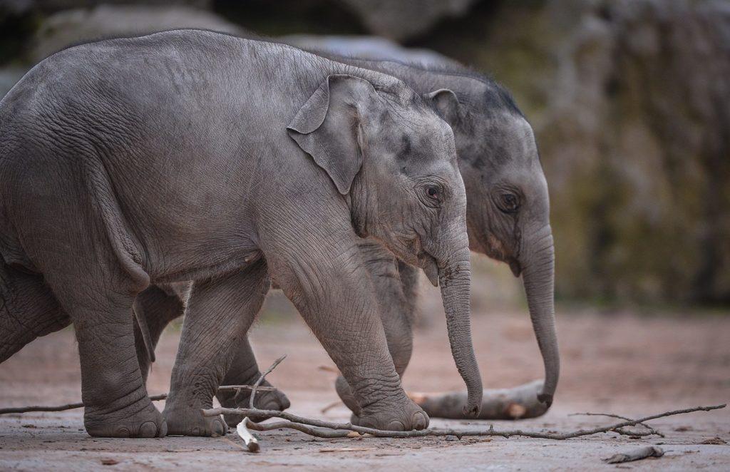 Chester Zoo elephants, Hari & Bala, which had the deadly EEHV virus