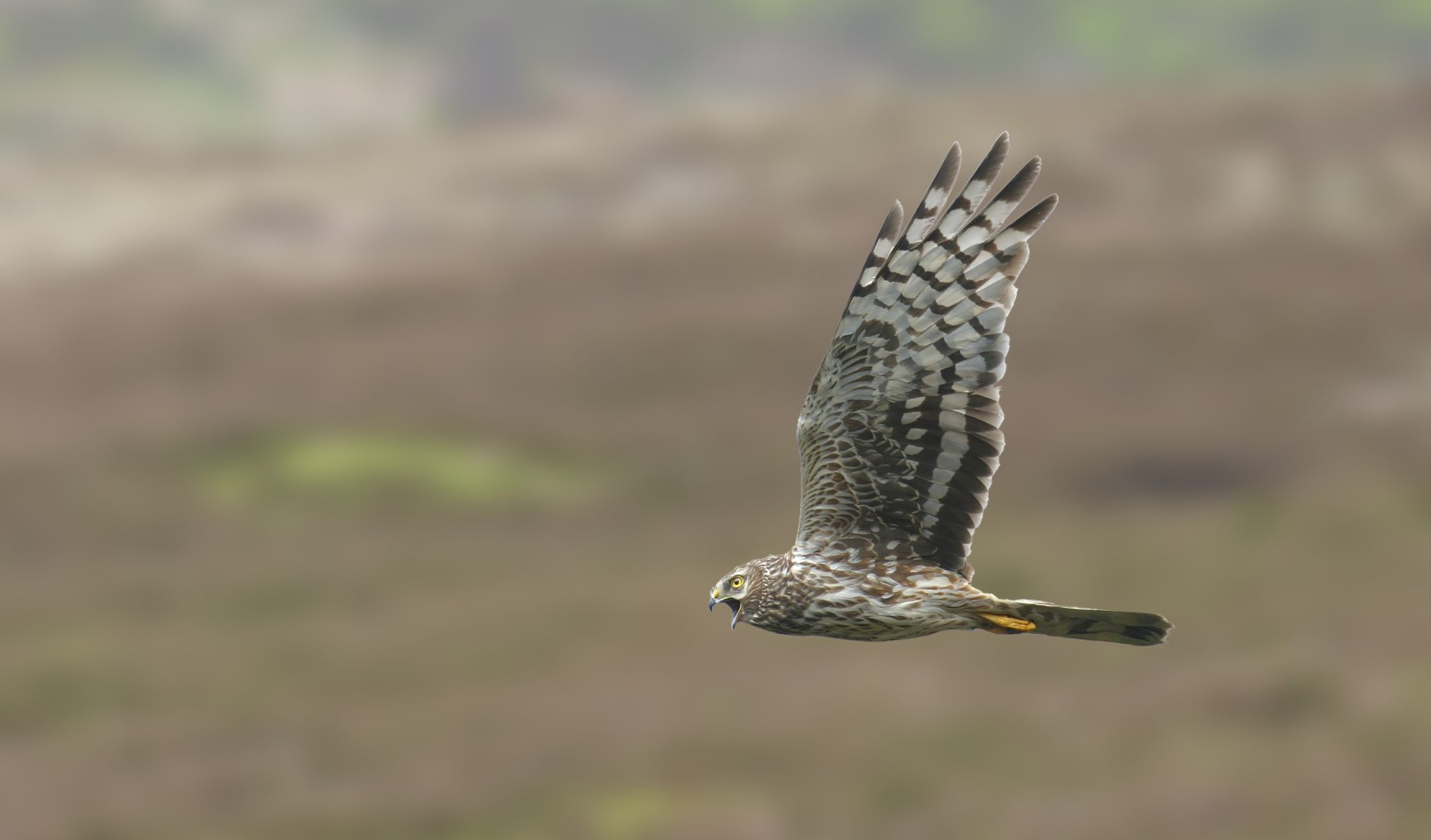 It's sometimes described as England's most persecuted bird, but there's a new plan to save the hen harrier