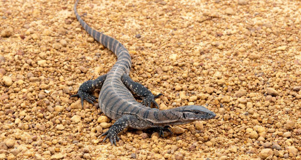 Australia's monitor lizards are under threat