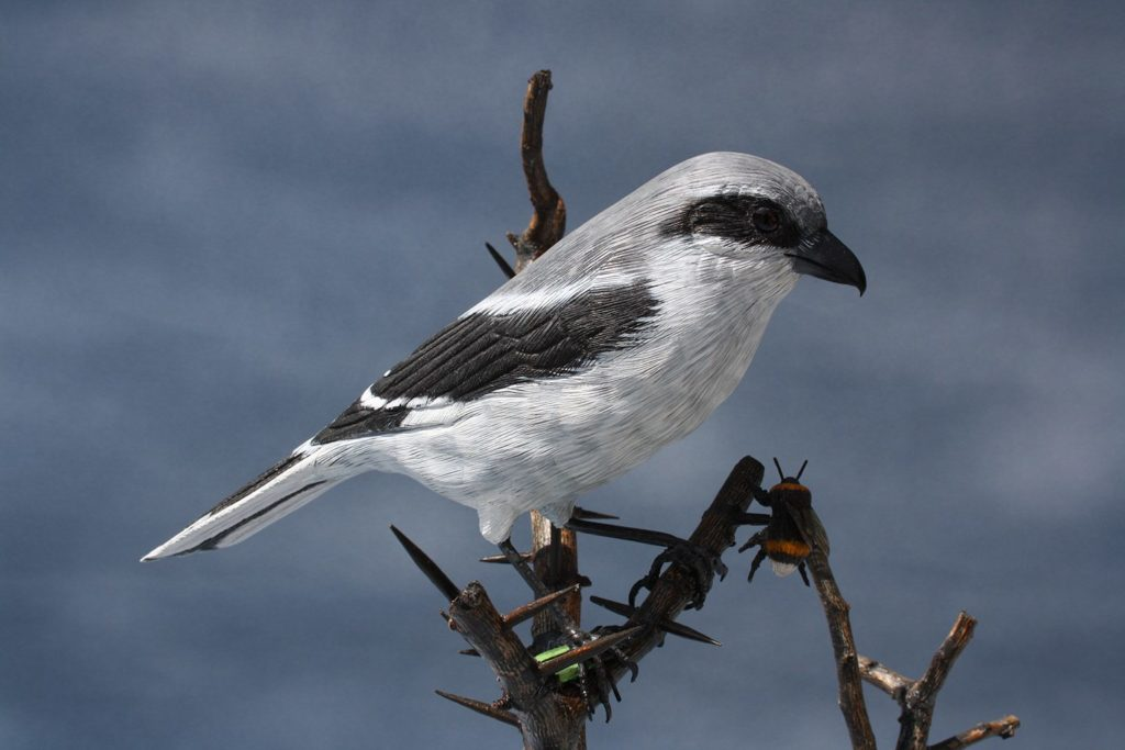 Shrikes are winter visitors to the UK. Look for them on high branches and fence posts