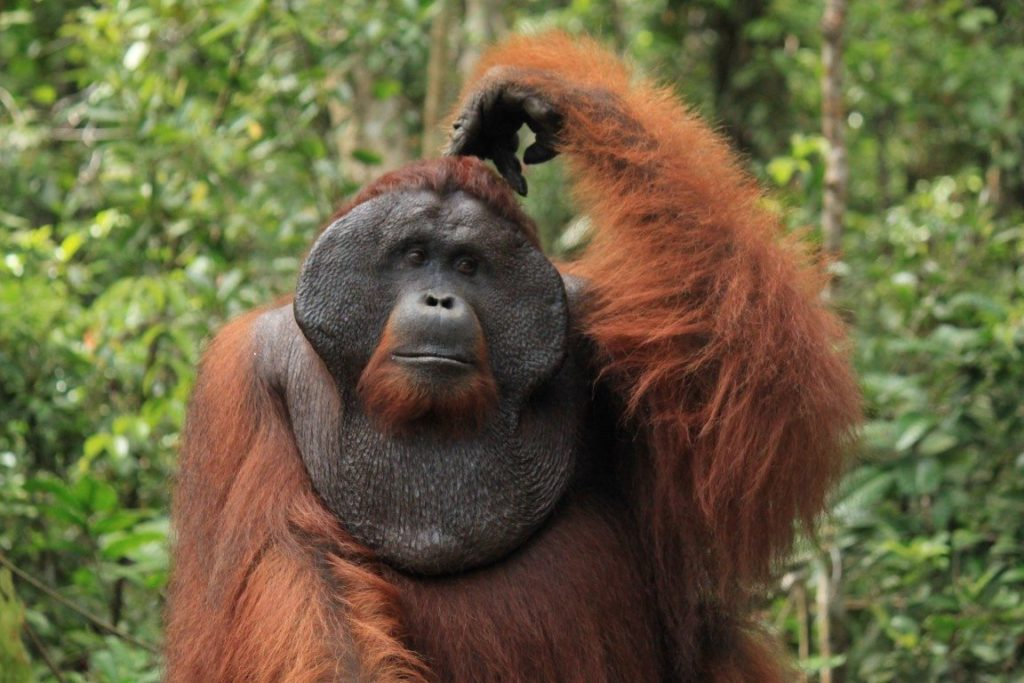 Male orangutans bearing cheekpads (flanges) are more appealing to the opposite sex
