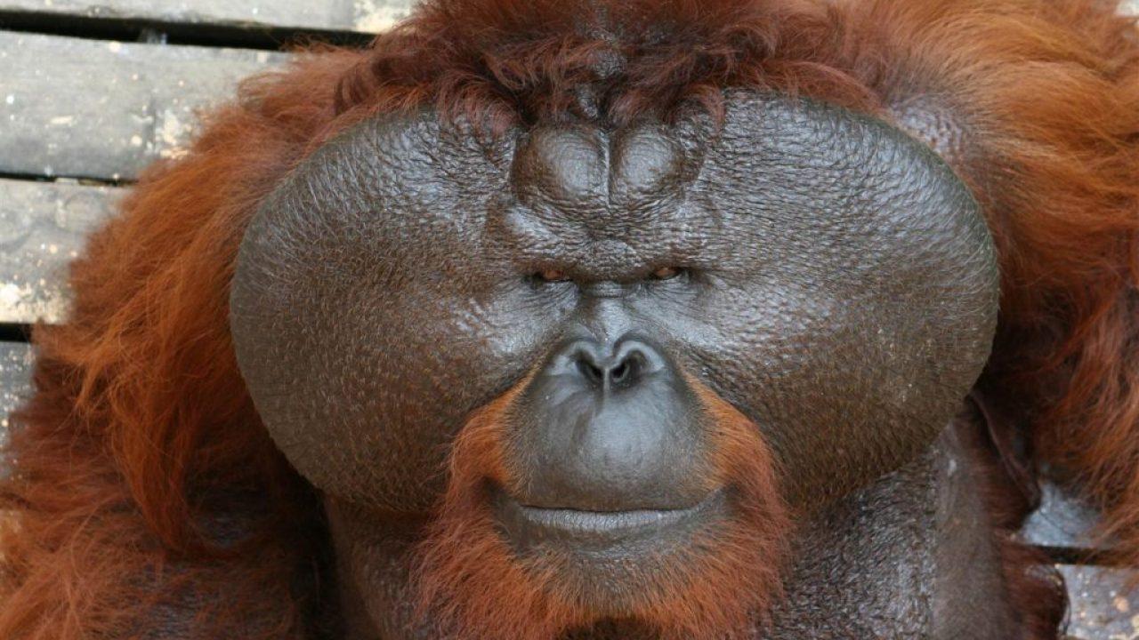 Male-Orangutans-1280x720.jpg
