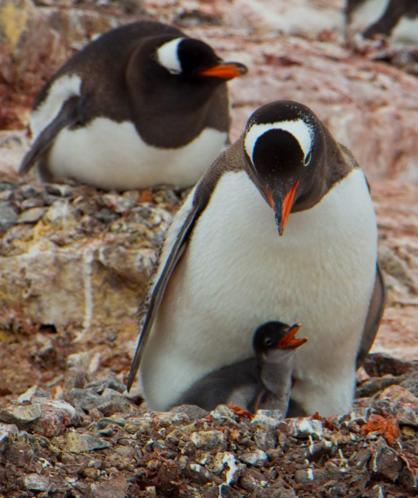 Gentoo parents must protect their nest from snowy sheathbills