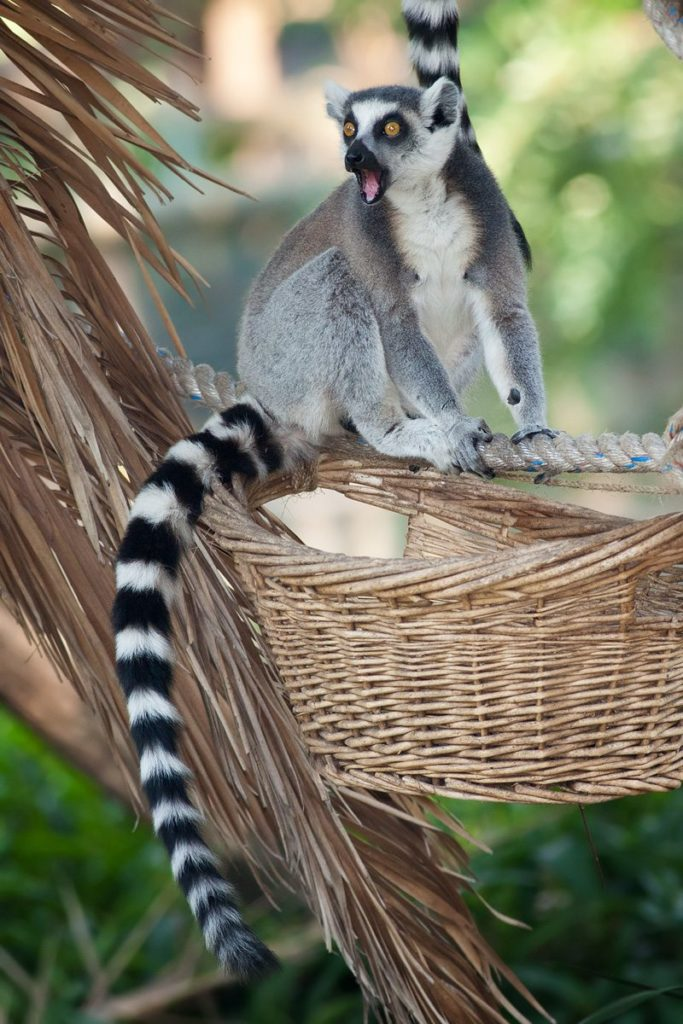 Like all lemurs, the ring-tailed is endemic to Madagascar