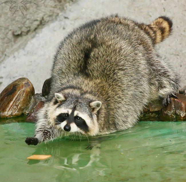 adorable-raccoons-4